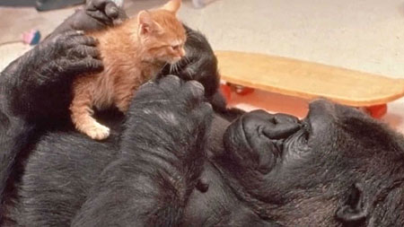 Koko la gorila