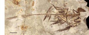 Microraptor-zhaoianus