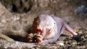 rata topo comiendo